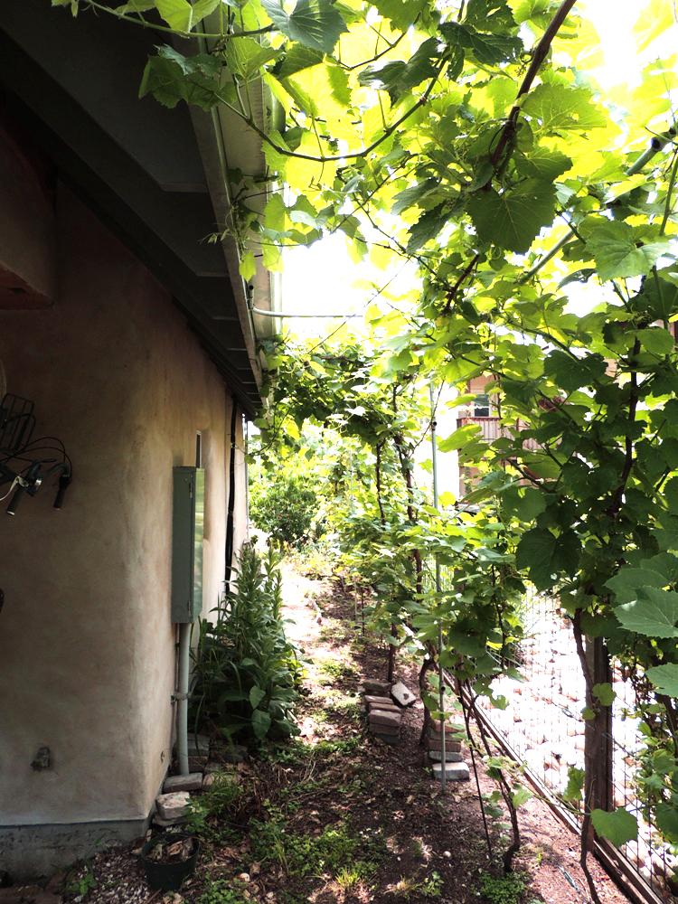 Grape Vines serve as a shade trellis